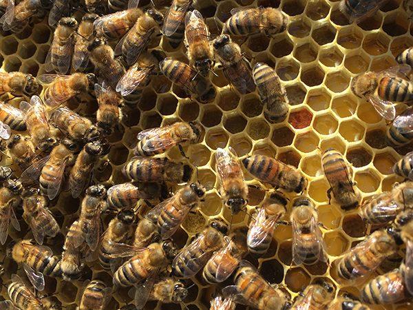 Des nouvelles de nos abeilles